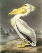 John James Audubon,   1785-1851,   American White Pelican,   1840-44