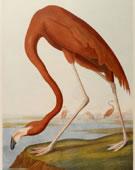 John James Audubon,   1785-1851,   Greater Flamingo,   1861,   Chromolithograph,   27 x 39.8 in.
