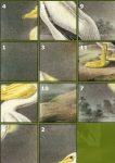 American White Pelican Puzzle